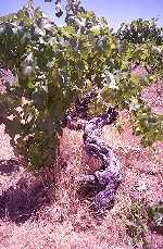 Gnarled old Mission vine at Story